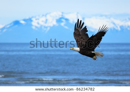 American Bald Eagle flies above the sea