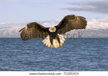 American Bald Eagle flying over ocean with Alaska mountains in background