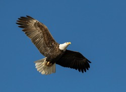 American Bald Eagle Flying with Wings Spread