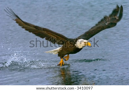 american bald eagle gets snack in fly through lane - stock photo