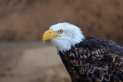 american bald eagle (haliaeetus leucocephalus) in Zoo of Tenerife, Canary Islands,Spain
