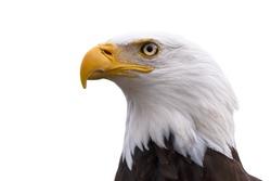 American Bald Eagle  - Haliaeetus leucocephalus isolated on a white background