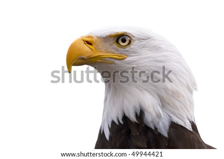 American Bald Eagle  - Haliaeetus leucocephalus isolated on a white background
