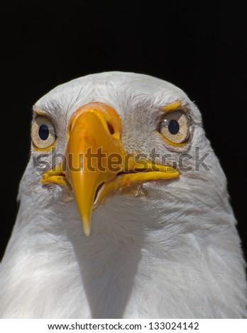 Bald eagle head front - photo#14