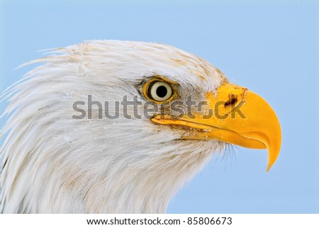american bald eagle in alaska, close up head shot, with great feather and snow detail