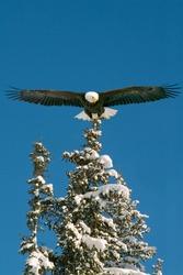 american bald eagle in alaska illustrated landing on evergreen tree