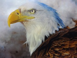 American Bald Eagle in all it's glory