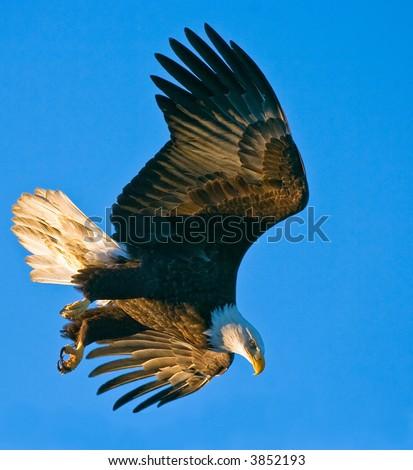 american bald eagle in dive against alaskan blue sky