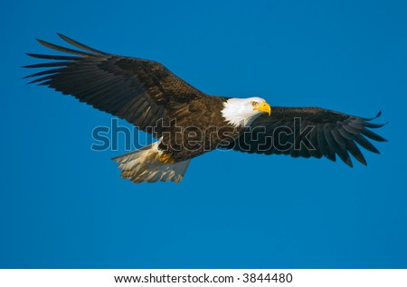american bald eagle in flight against alaskan blue sky