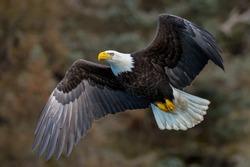 american bald eagle in flight against alaskan mountainside