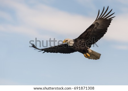 American bald eagle in flight against partly cloudy and light blue Alaskan sky in Kenai region