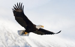 american bald eagle in flight against snowy alaskan kenai mountains