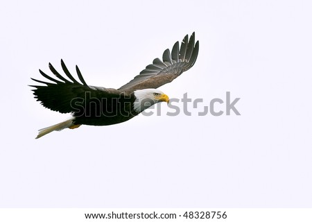 american bald eagle in flight against white cloudy sky