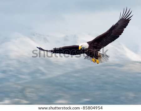 american bald eagle in flight and illustrated over alaska coastal mountains in winter, nice light on face