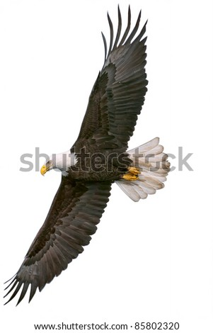 american bald eagle in flight, cutout onto white background