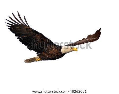american bald eagle in flight extracted against white background