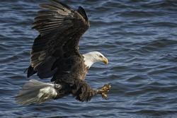 American Bald Eagle in flight fishing
