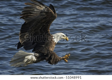 American Bald Eagle in flight fishing