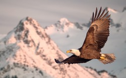 American bald eagle in flight illustrated over snow-covered mountain in Alaska's Kenai mountains