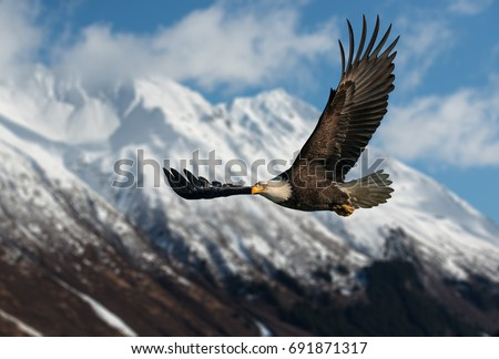 American bald eagle in flight illustrated over snow-covered mountain in Alaska's Kenai mountains, high resolution capture