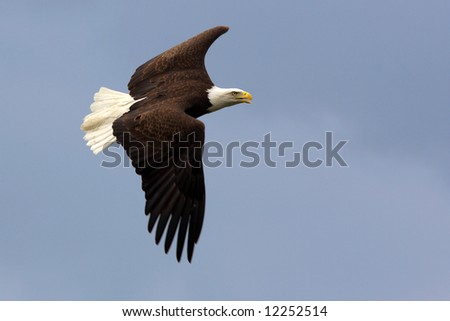American Bald Eagle in flight in front of a blue sky