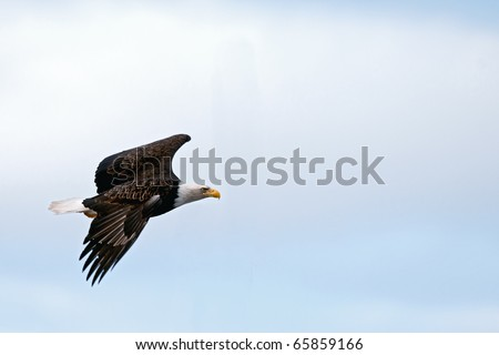 american bald eagle in flight over alaska - stock photo