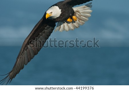 american bald eagle in flight over alaska coastline