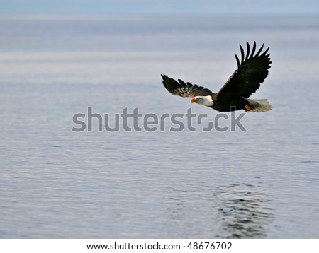 american bald eagle in flight over alaska waters