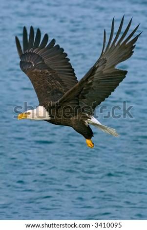 american bald eagle in flight over alaskan waters