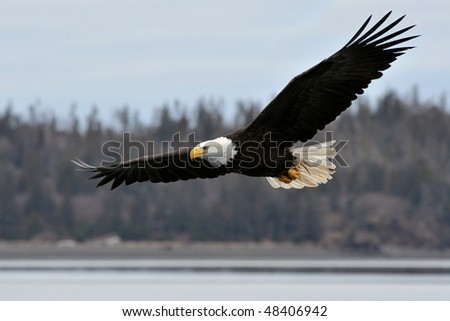 american bald eagle in flight over coastal alaska shoreline