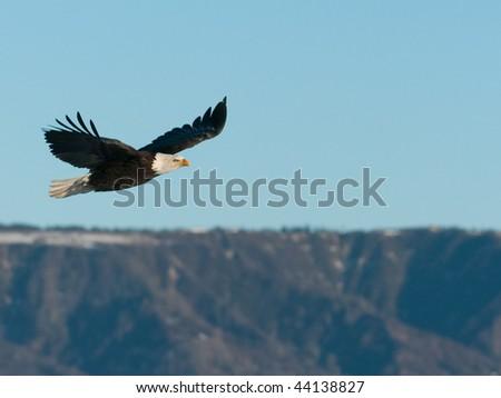 american bald eagle in flight over coastal mountains of alaska