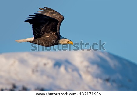 american bald eagle in flight over mountains of alaska\'s cook inlet