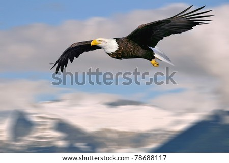 american bald eagle in flight over superimposed alaska mountains and glacier