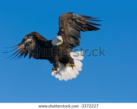 american bald eagle in flight ready to grab a fish