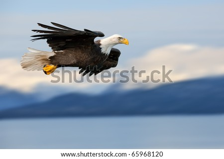 american bald eagle in flight superimposed over alaskan cook inlet and mountains at wintertime