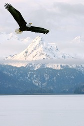 american bald eagle in flight superimposed over scene of alaska coastal mountain peaks in winter