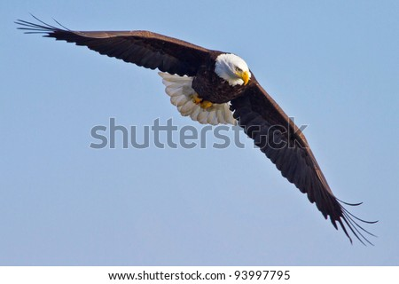 American Bald Eagle In Flight With Blue Sky Background
