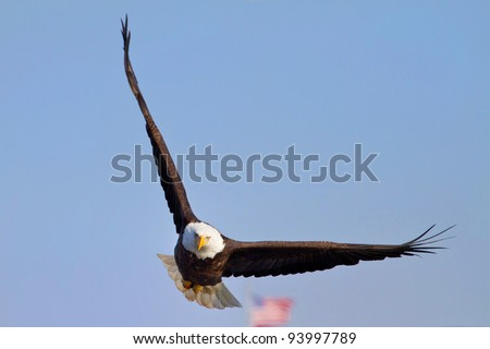 American Bald Eagle In Flight With Blue Sky Background With American Flag in Background