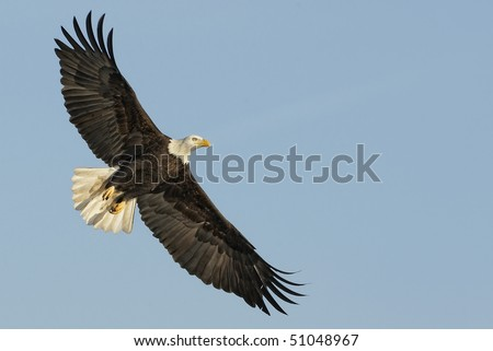 American Bald Eagle in flight with room for graphics or text