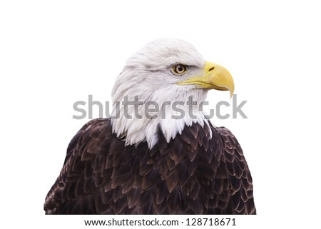 American Bald Eagle isolated on a white background.