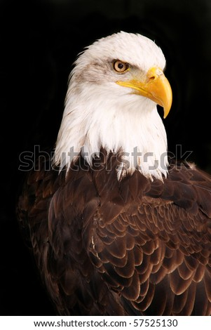 American bald eagle isolated on black - stock photo