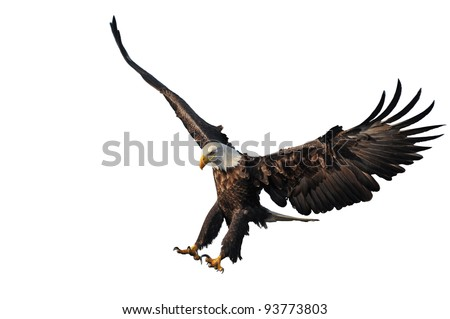 american bald eagle landing, isolated on white background, with nice light and detail