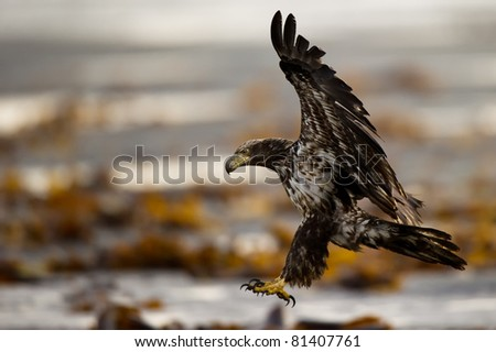 American Bald Eagle Landing on a beach in Alaska
