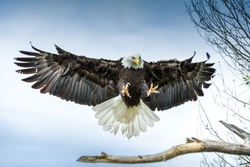 American Bald Eagle landing on a branch