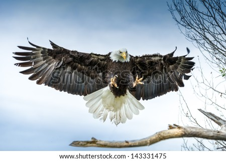Stock Photo American Bald Eagle landing on a branch