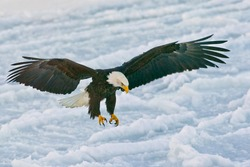 american bald eagle landing on ice in alaskan bay