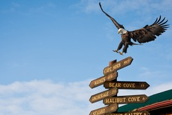 american bald eagle landing on milepost in homer alaska, composite