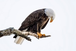 American bald eagle looking down in disgrace