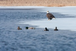 American Bald Eagle looking for food on an icy lake