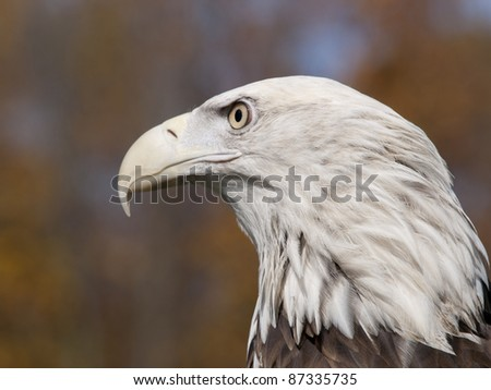 American Bald Eagle on an Autumn day.